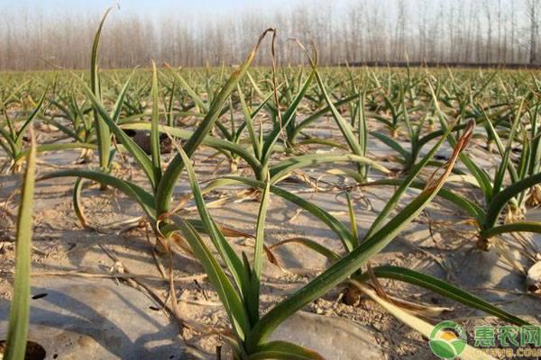 大蒜种植管理