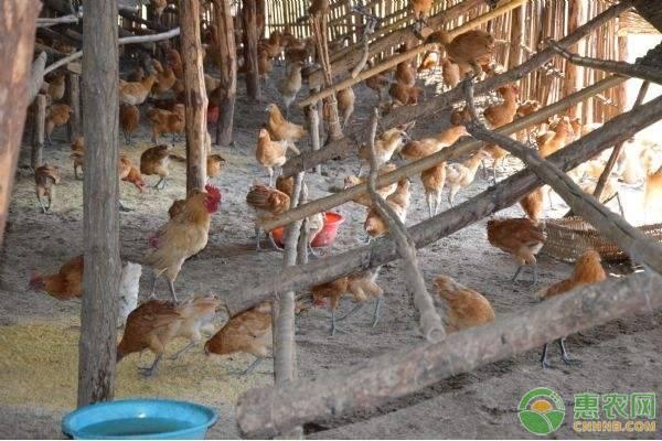中草药养鸡技巧