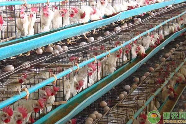 中草药养鸡方法