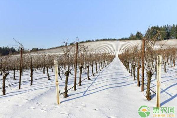 小雪节气果树越冬管理