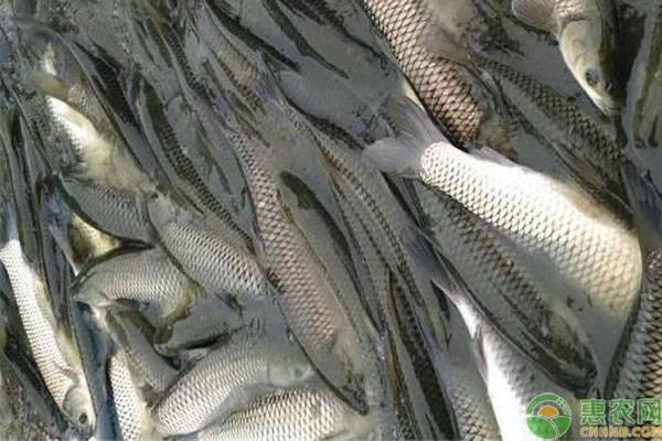草鱼吃多少草长一斤肉?草鱼吃什么草长得快?