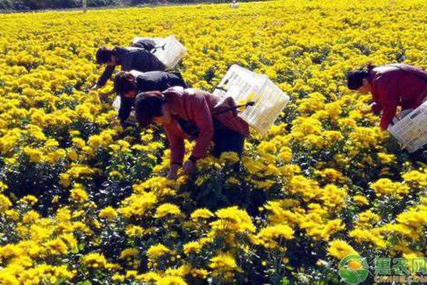 菊花种植管理
