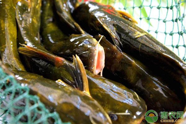 黄颡鱼的养殖难点