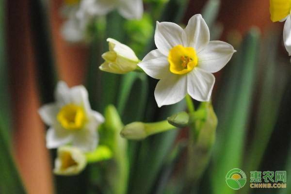 水仙花放在水里怎么养?需注意哪些问题?