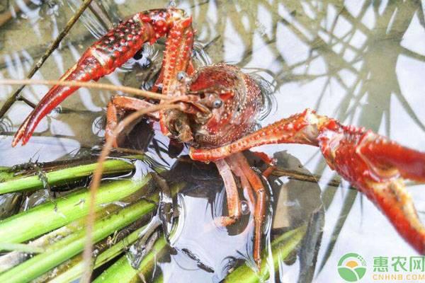 养殖小龙虾为何会失败?主要是这些原因!