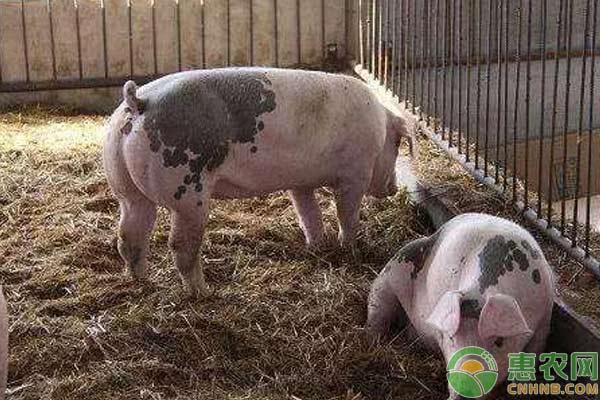 猪在冬季为什么会咳嗽?怎么办才好?