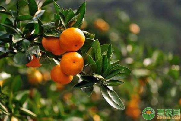 柑橘冬季养护