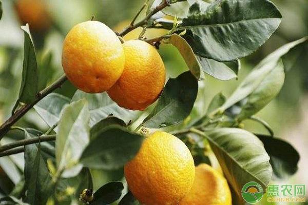 柑橘冬季落叶的原因