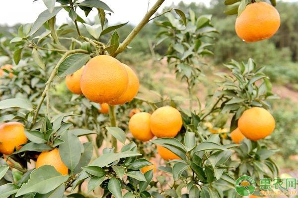 柑橘冬季护叶管理