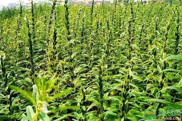 芝麻播种是什么时间?一亩地播种多少?