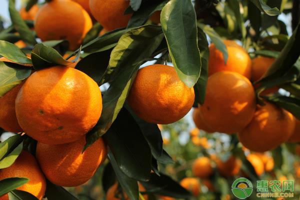 影响柑橘品质原因