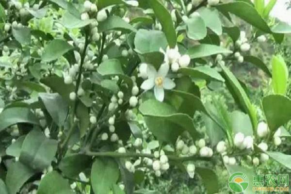 柑橘花芽分化