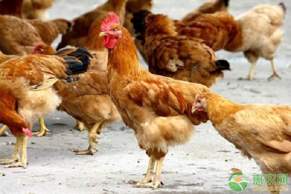 家禽流行病的主要特征
