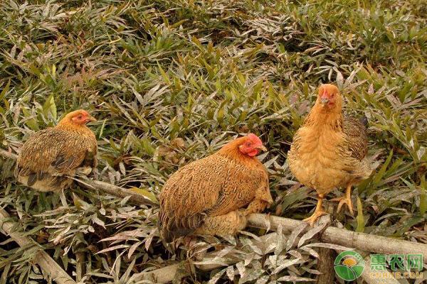 家禽流行病的防控方法