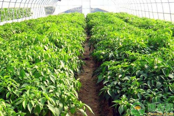 冬季大棚蔬菜施肥要点和注意事项