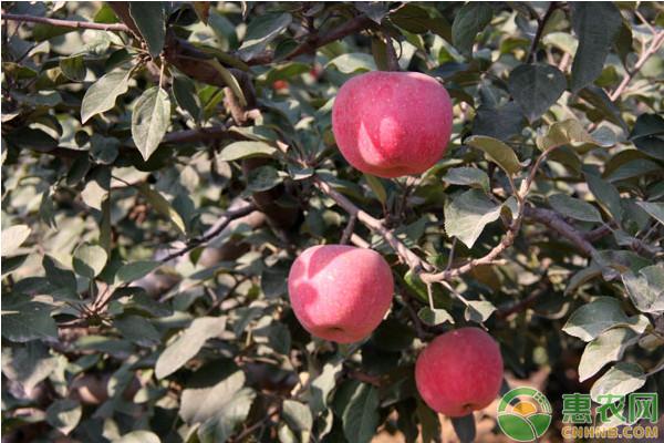 冬季果树抽条原因及防治措施