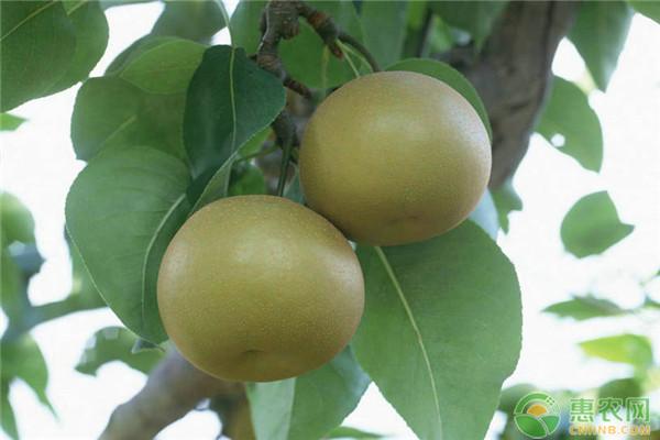 种植梨子方法