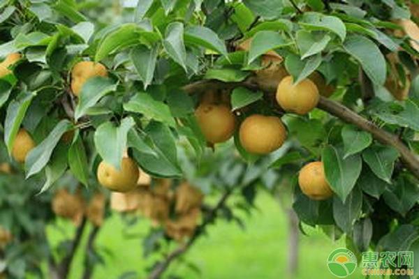 梨子高产种植方法