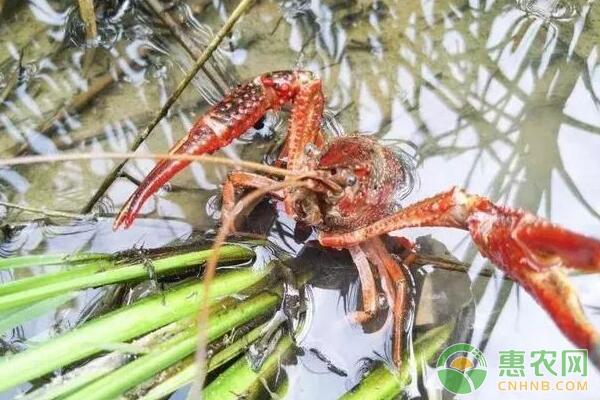 稻田里混养虾蟹的四大注意事项