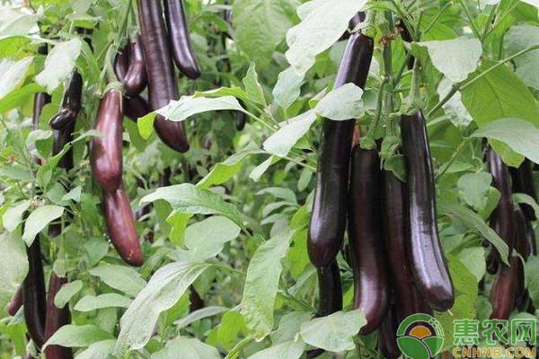 茄子高产种植方案及采收标准