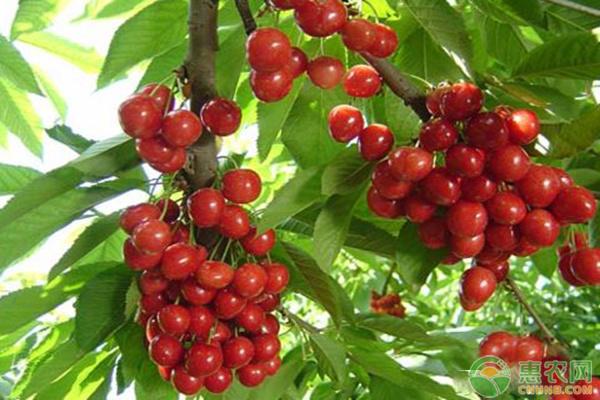 樱桃越冬种植管理方法