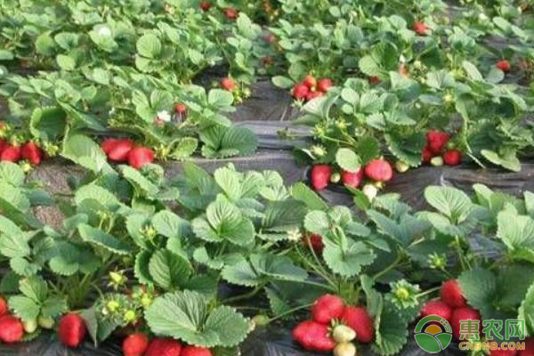 12月份草莓的管理要点及注意事项