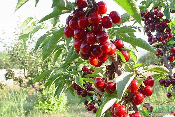 樱桃种植方法
