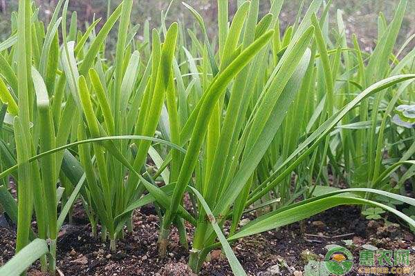 韭菜大棚种植