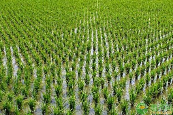 水稻秧苗腐烂是什么原因?有哪些防治方法?