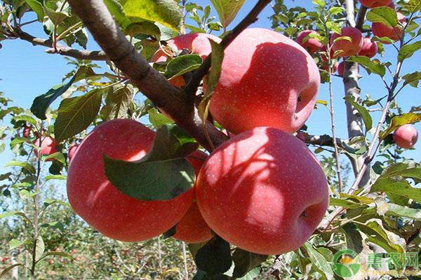 种植苹果树方法