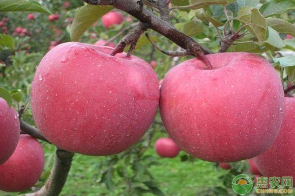 苹果树施肥方法