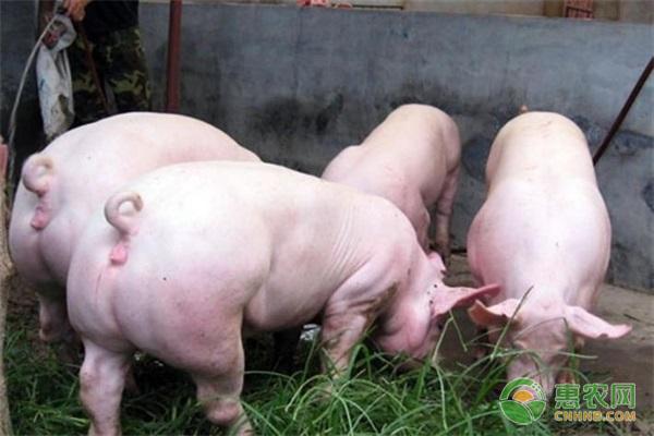 豬為什么會互相咬尾咬耳?有哪些防治方法?