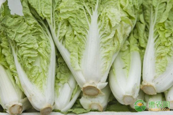 要想贮存好大白菜,贮存前得做好这四个工作!