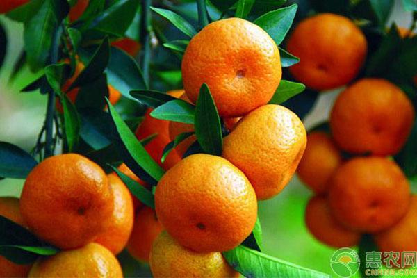 砂糖橘管理