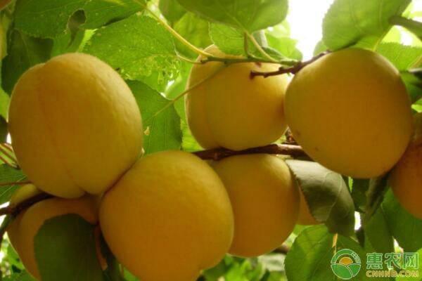 种植课堂:黄桃不同时期的施肥要点