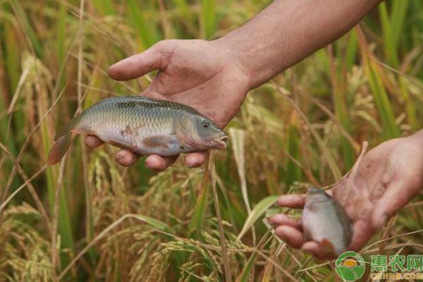 渔稻综合种养技术