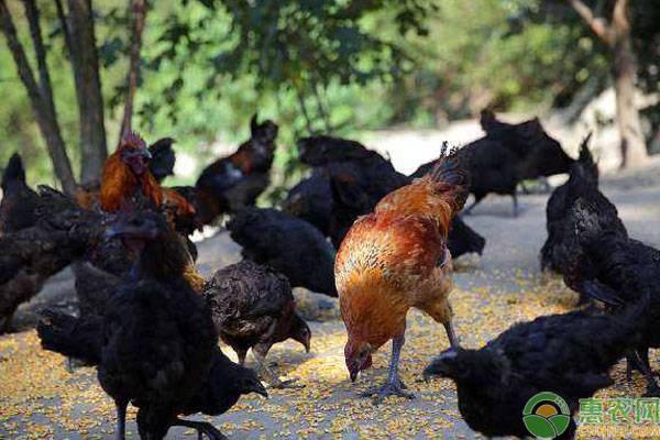 养殖蛋鸡做免疫需避免进入这八大误区!