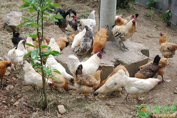 散养鸡育雏阶段的管理要点