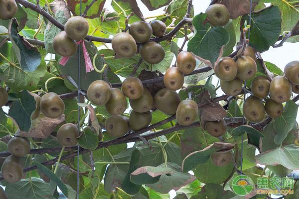 猕猴桃的高产施肥方法