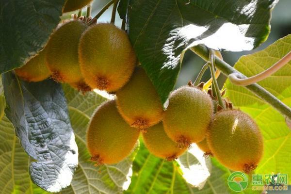 猕猴桃施肥方法