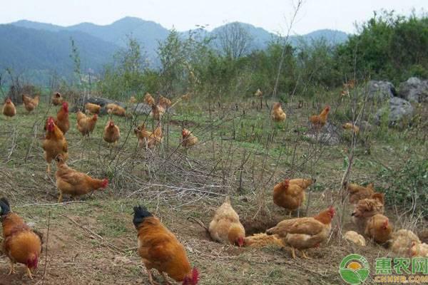 鸡得这几种病容易引发眼睛瞎,这些防治方案有必要收藏!