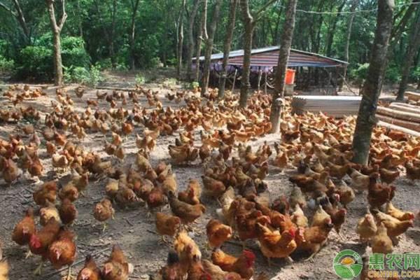 土鸡育肥管理要点