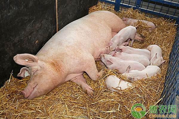 母猪亚健康症的症状、原因及防治方法