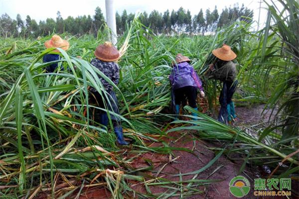 南方地区冬植甘蔗的高产栽培技术