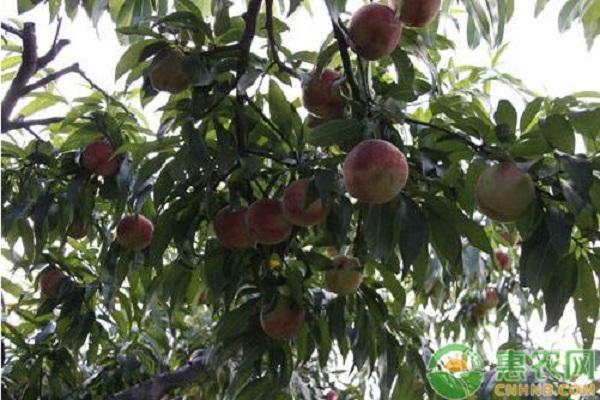 冬季大棚桃树的管理要点和注意事项