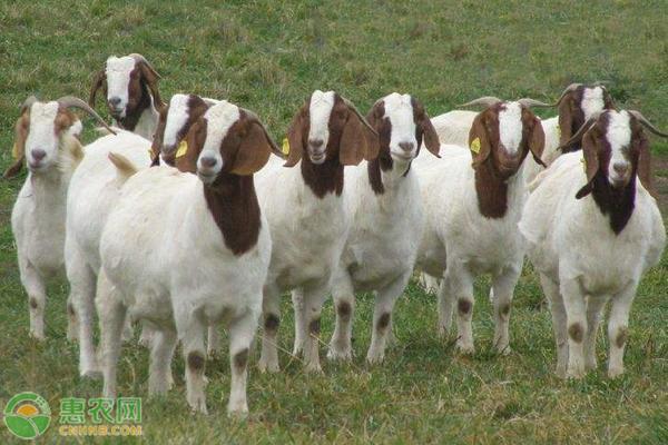 冬季怎么养羊才能生长快