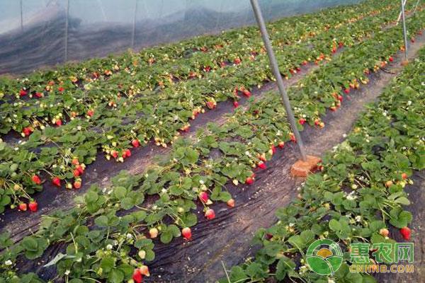 草莓花果期如何管理?有哪些注意事项?