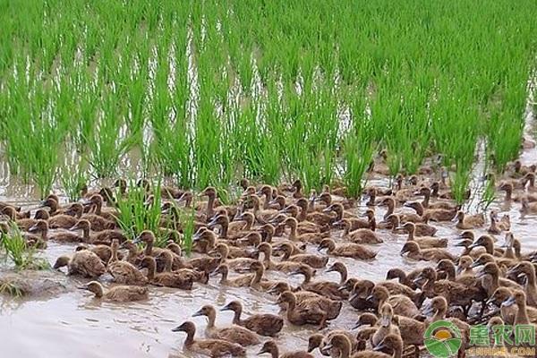 稻鸭生态养殖