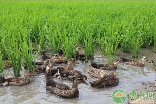 稻鸭生态养殖的方法