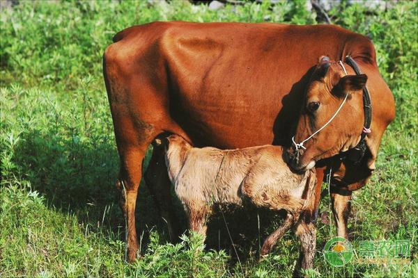 南方*黄牛可以半圈养吗?有哪些养殖要点?